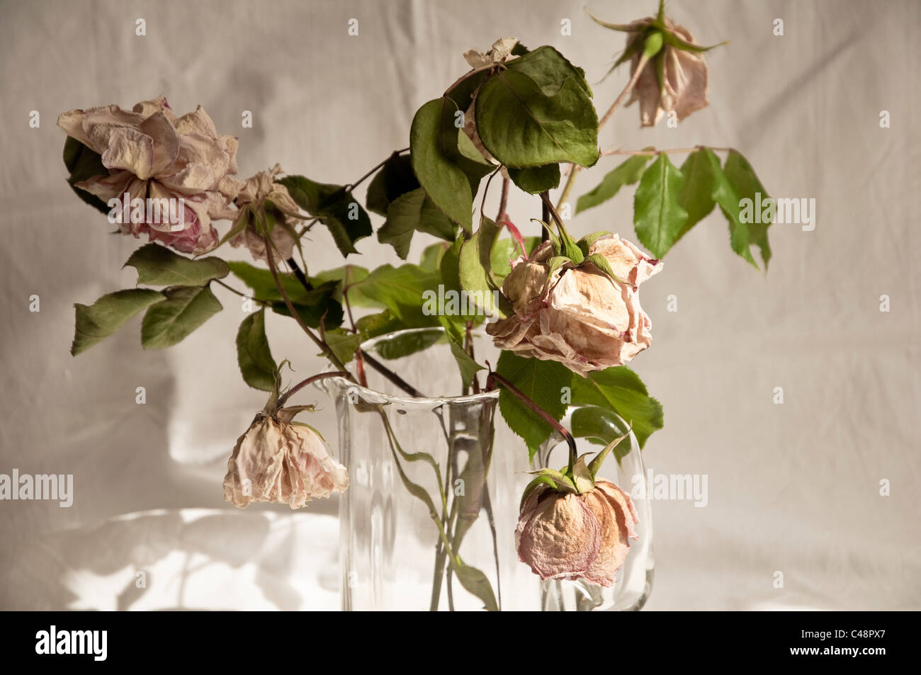 Old dried and faded roses. - Stock Image