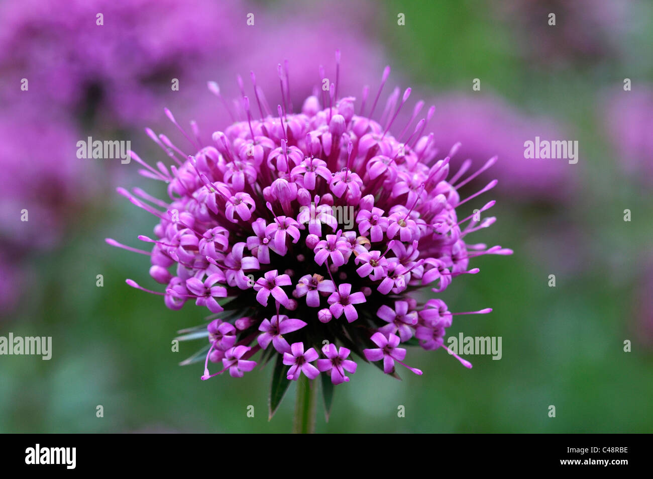 the purple flower head of phuopsis stylosa a perennial. Black Bedroom Furniture Sets. Home Design Ideas
