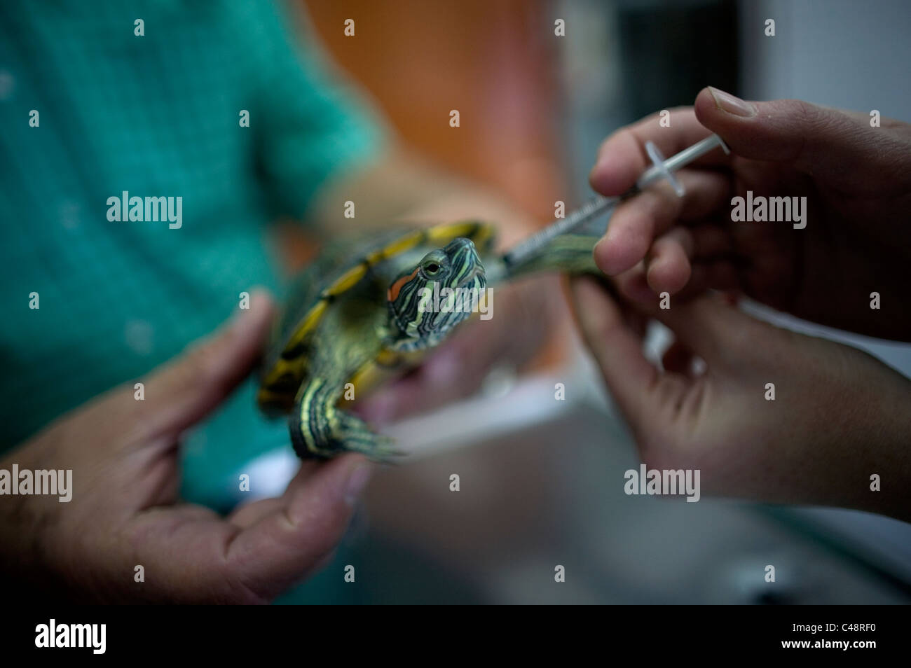 A veterinarian gives medicine to a turtle at a Pet Hospital in Condesa, Mexico City, Mexico - Stock Image
