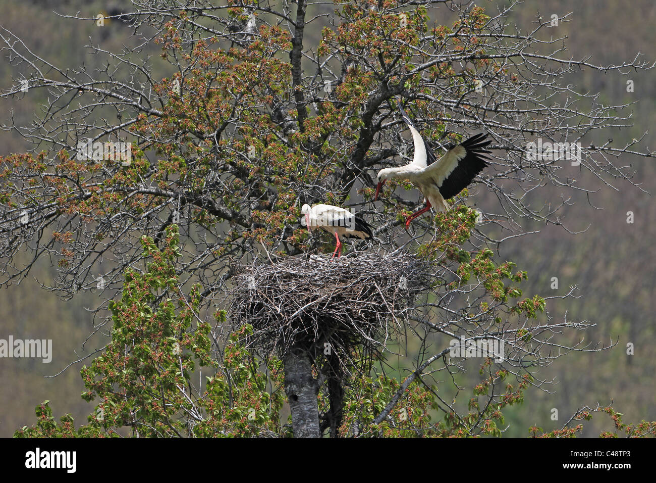 [White Stork] [Ciconia ciconia] flying in to nest in a tree at [Los Espejos de la Reina], [Castilla y Leon], Spain Stock Photo