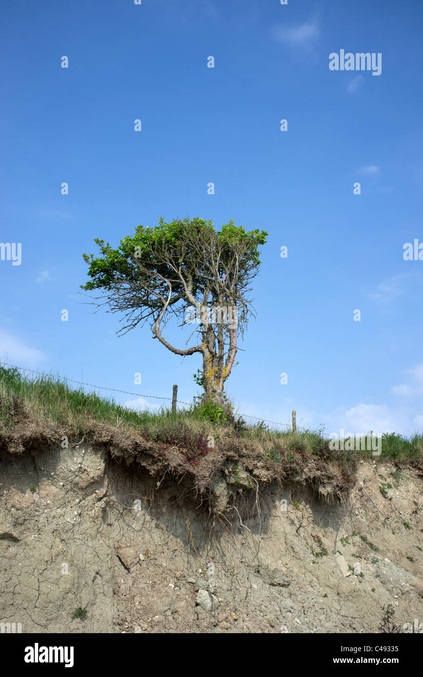 tree bent by the prevailing wind and wind erosion - Stock Image