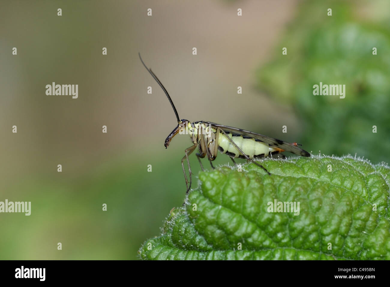 Female Scorpion Fly Panorpa spp Order Mecoptera - Stock Image