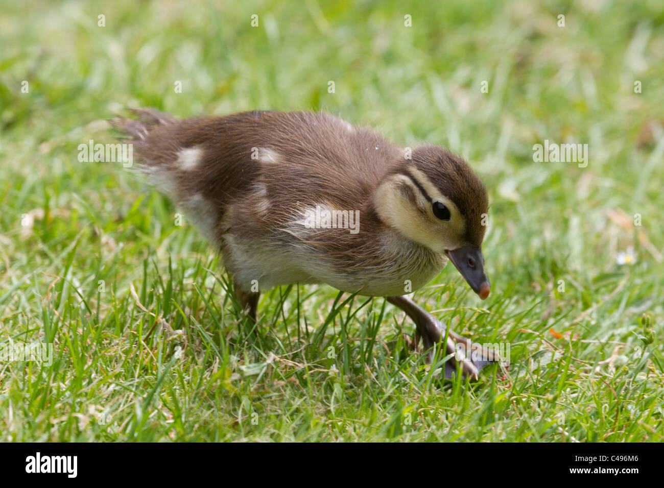 Mallard duckling Anas Platyrhynchos foraging for food on a grass bank - Stock Image