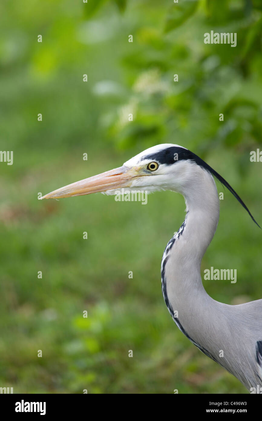 Grey Heron Gray Heron Ardea Cinerea close up headshot with prominent wispy crest - Stock Image