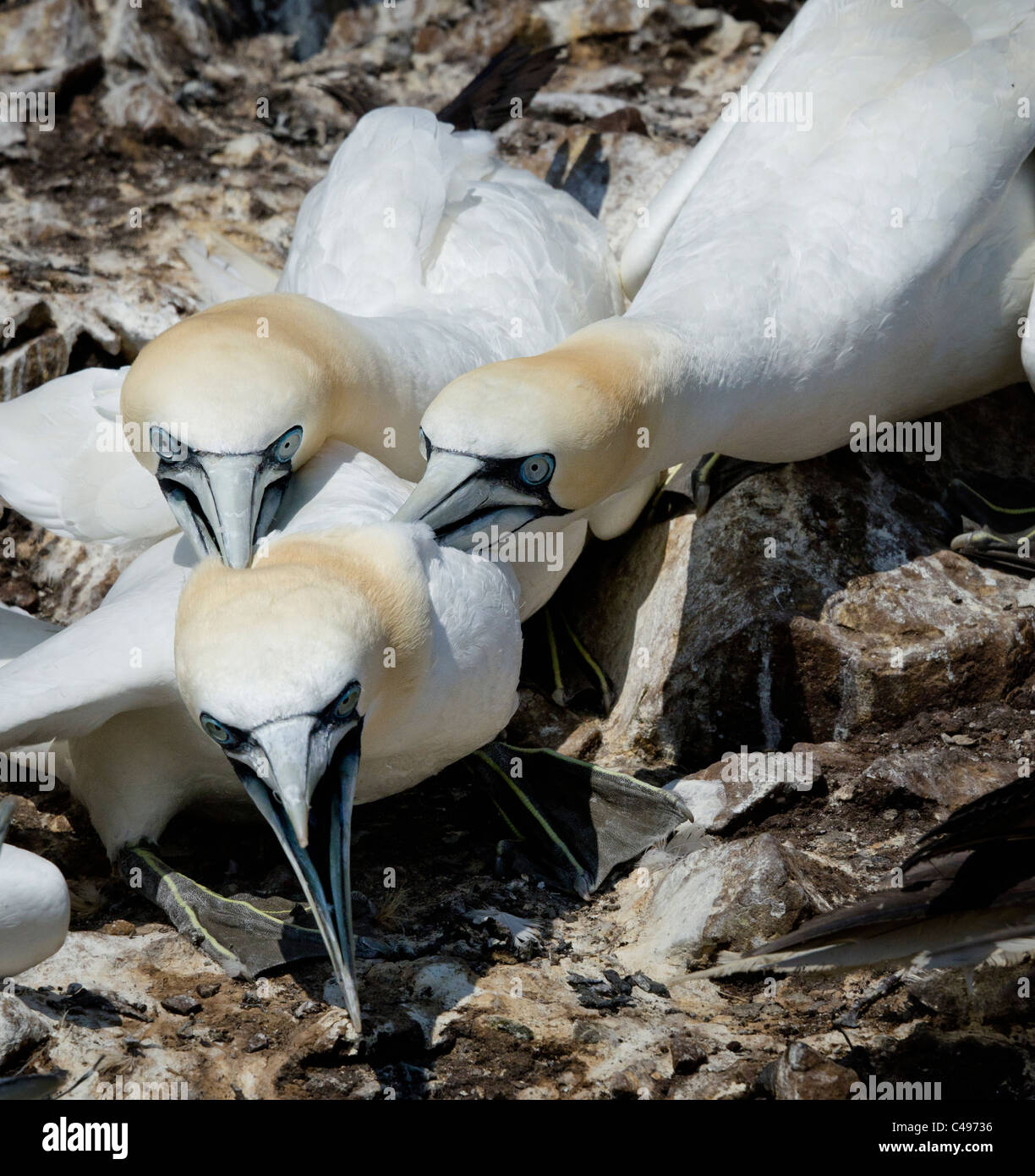 Aggression between Gannets on a crowded bird colony - Stock Image