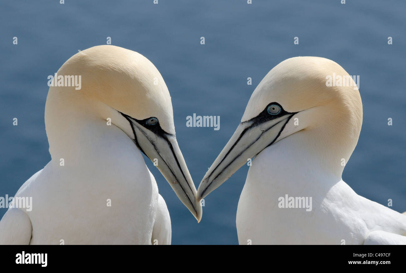Pair of Gannets tapping beaks together. - Stock Image