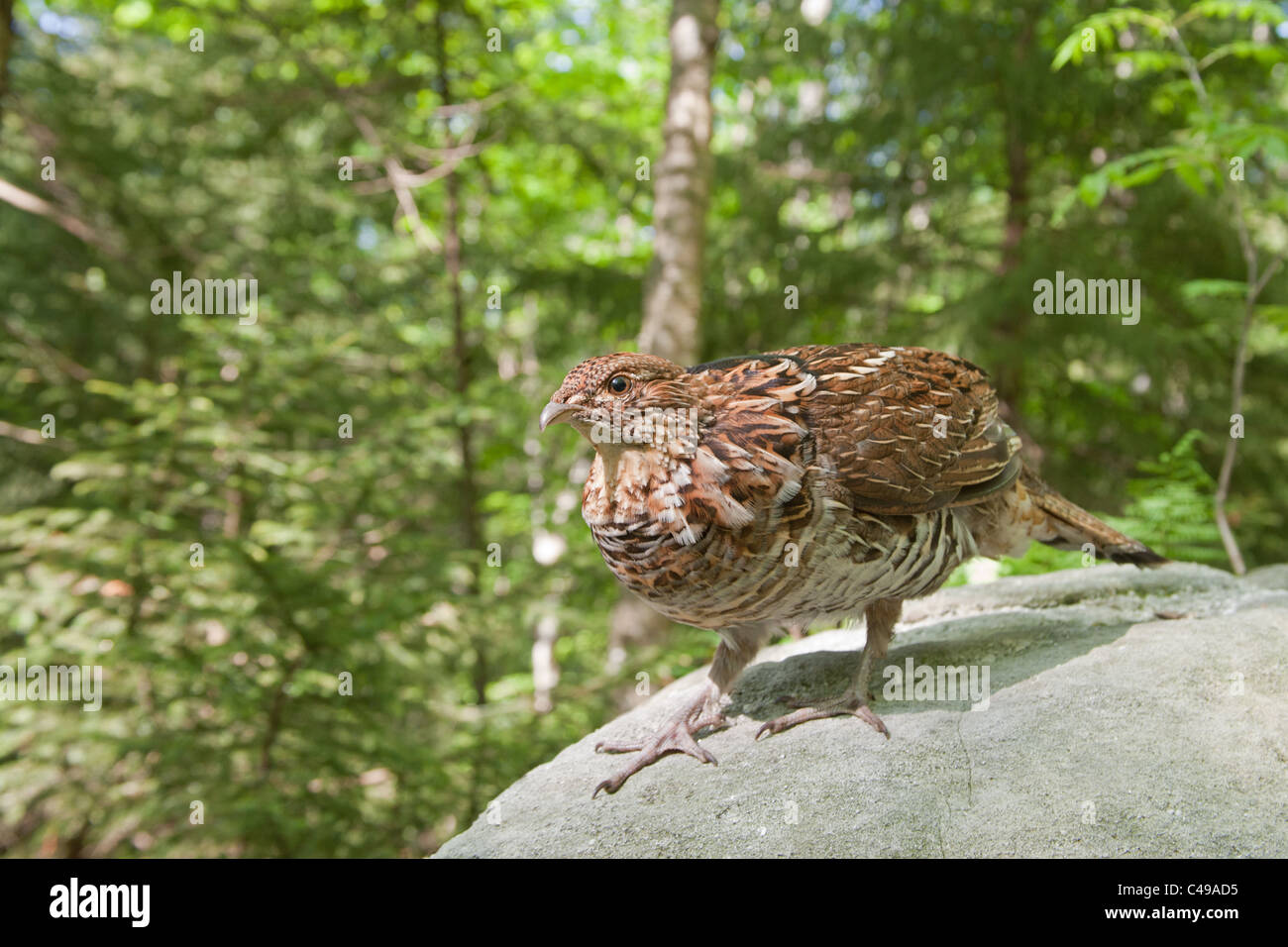 Ruffed Grouse - Stock Image