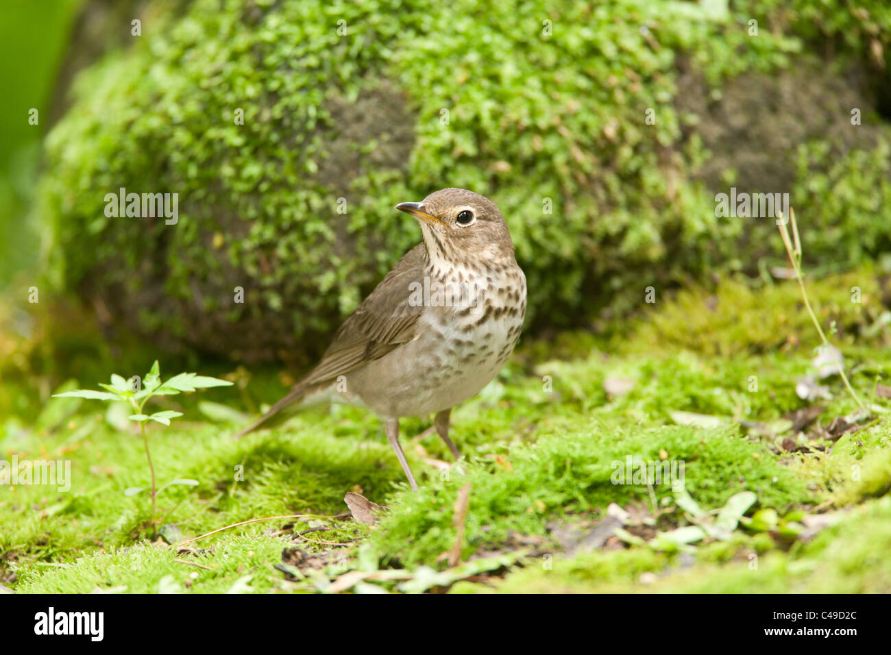 Swainson's Thrush Stock Photo