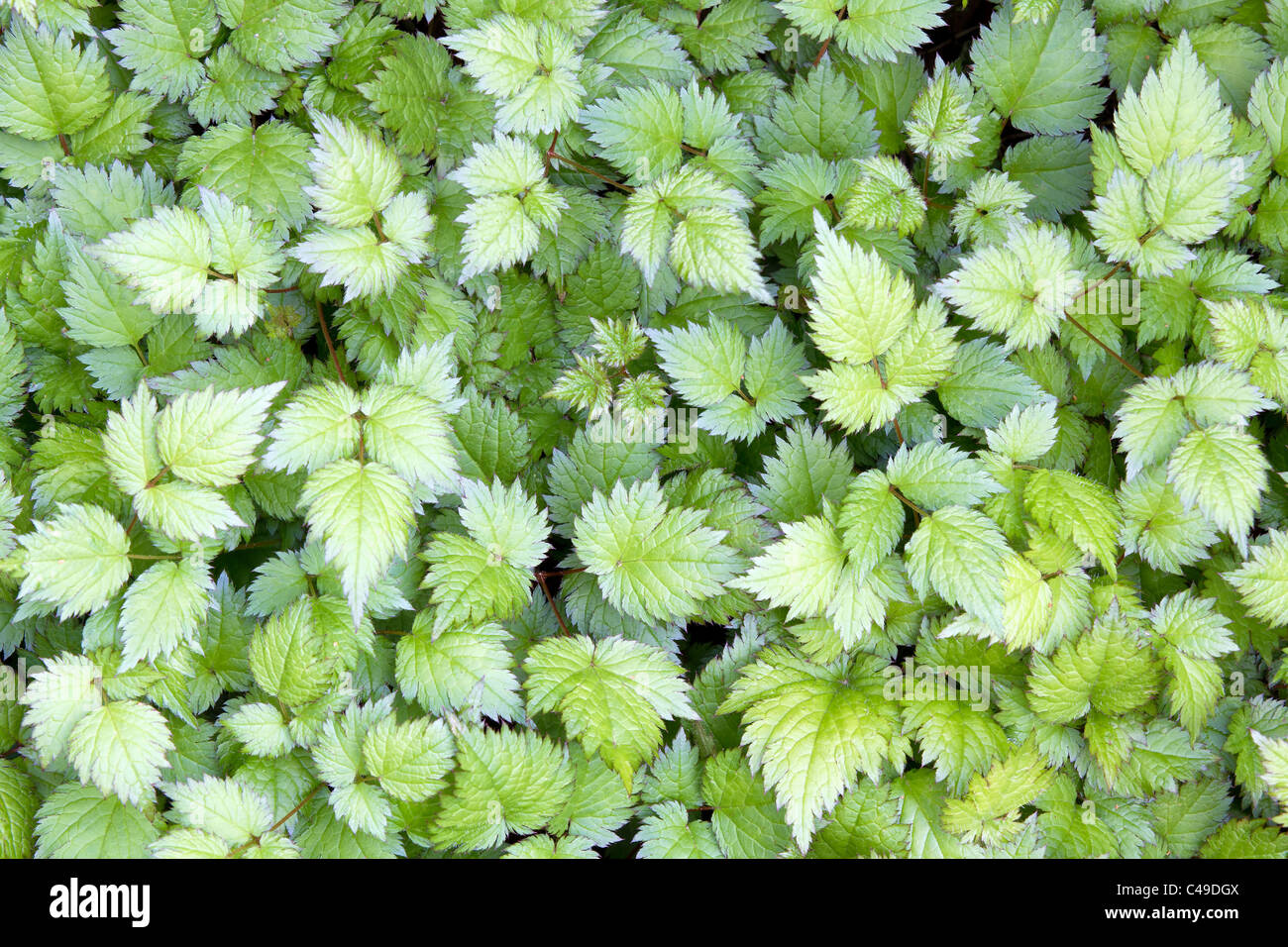 Astilbe Herbaceous Perennial Plant Leaves Background - Stock Image
