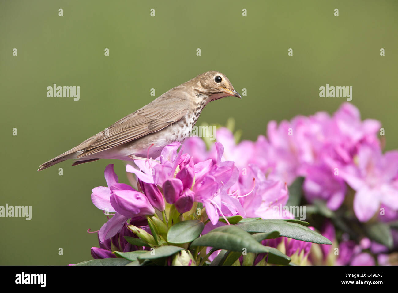 Swainson's Thrush perching in Rhododendron Blossoms Stock Photo