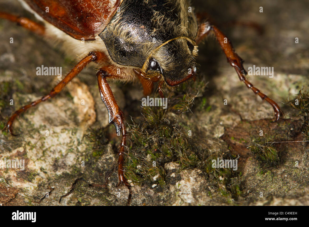 female Common Cockchafer (Melolontha melolontha) on a tree trunk Stock Photo