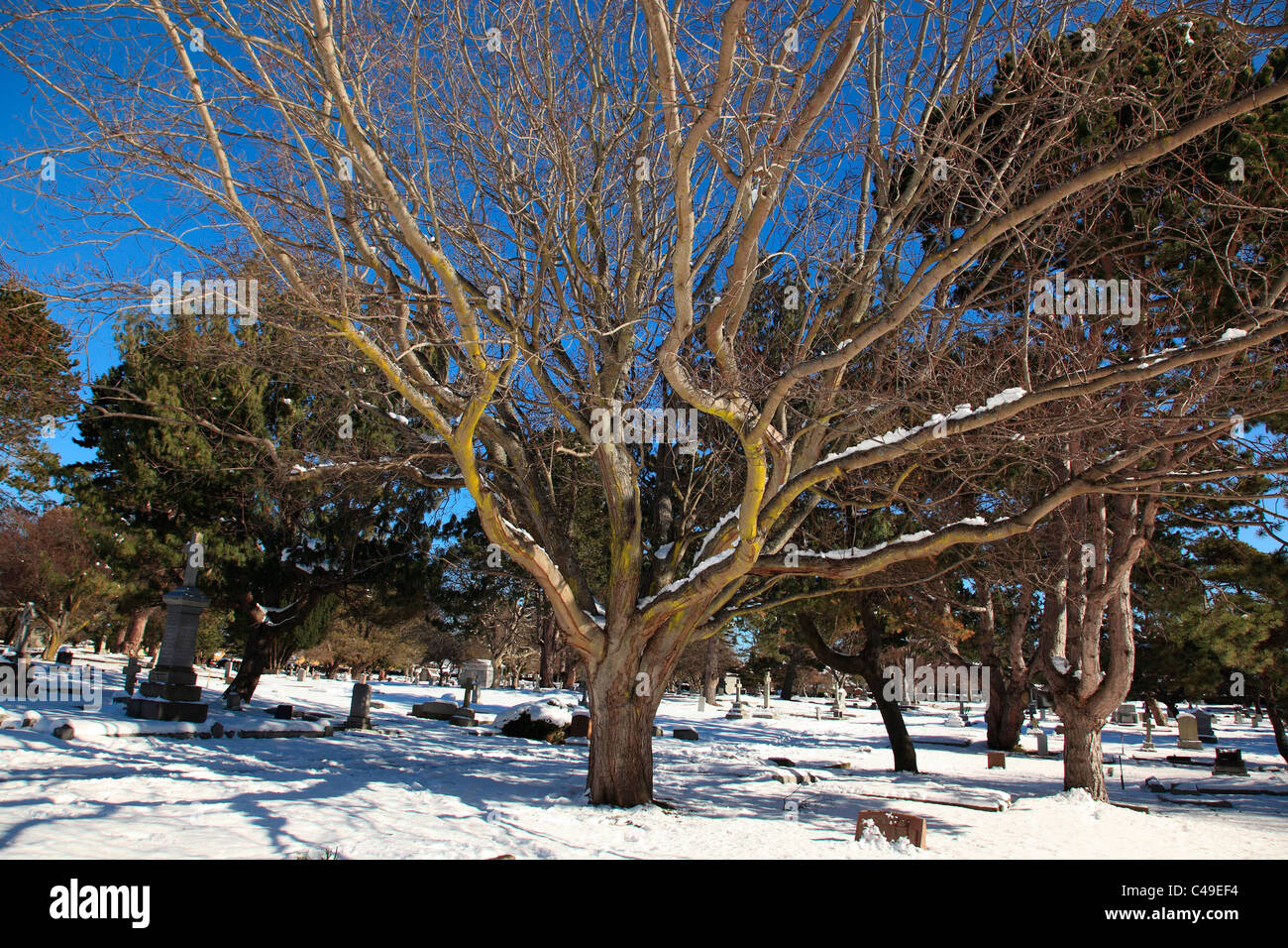 Bare leafless tree with moss growing on the branches on a sunny winter day. - Stock Image