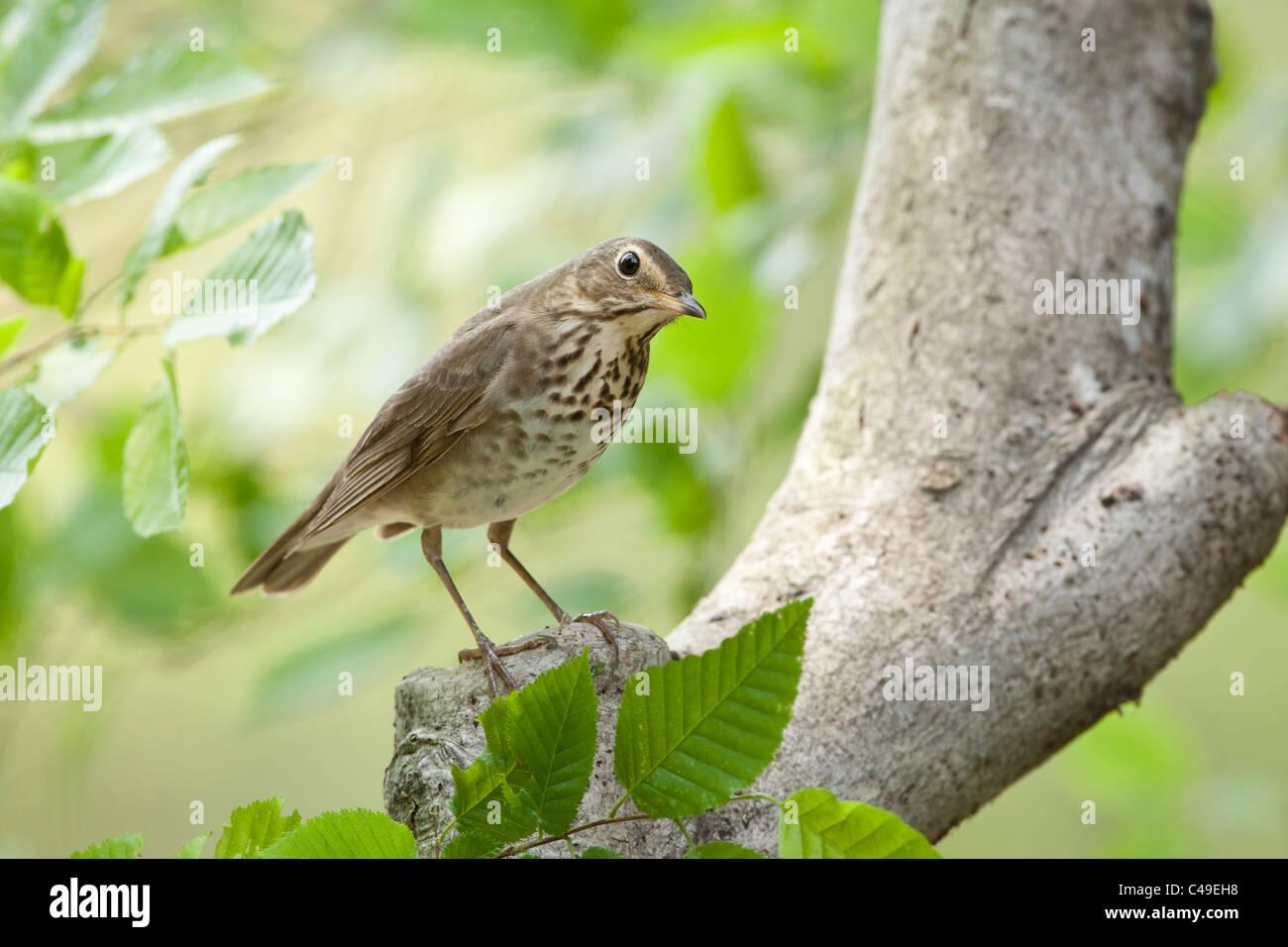 Swainson's Thrush perching in Beech Tree Stock Photo