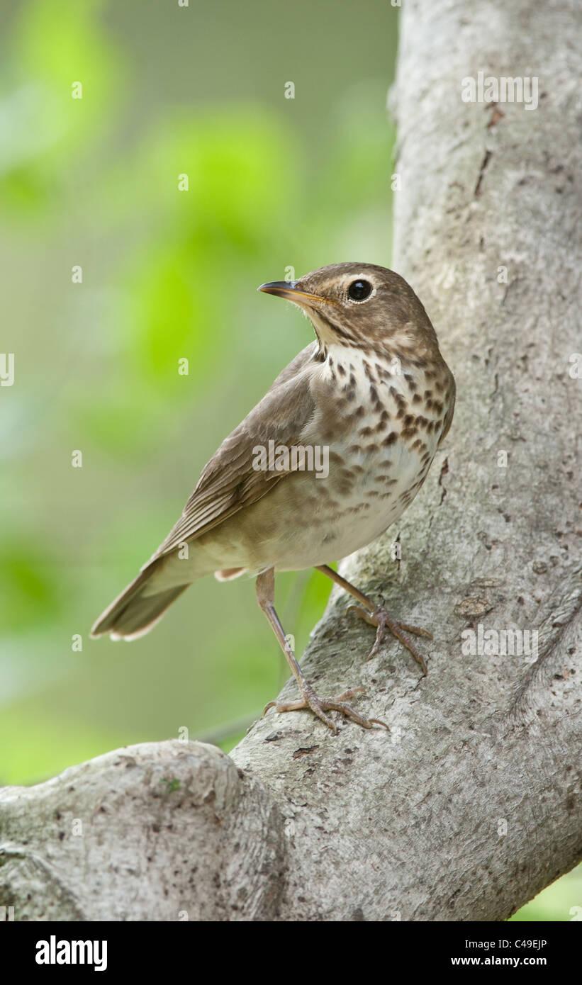 Swainson's Thrush perching in Beech Tree - Vertical Stock Photo