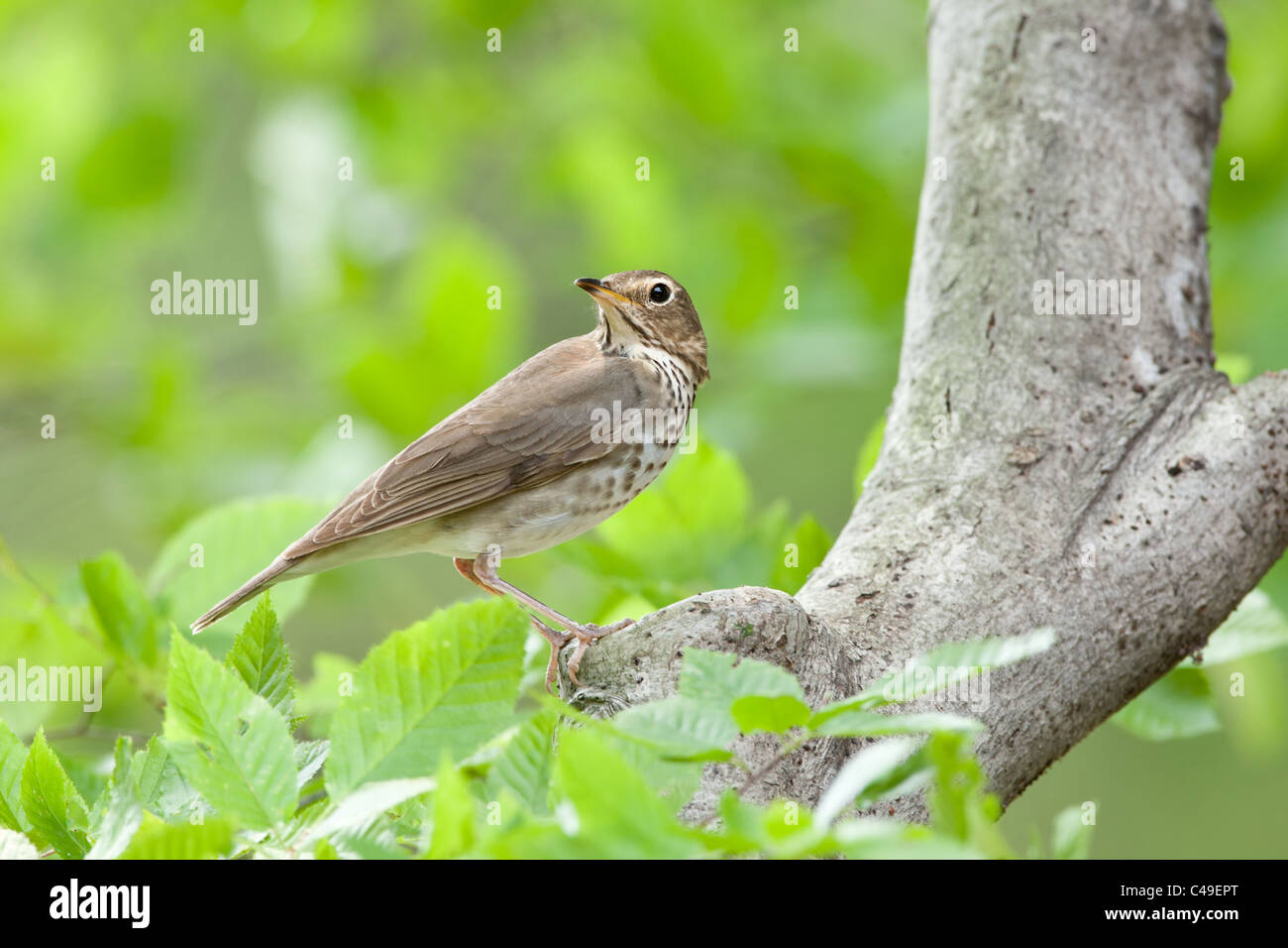 Swainson's Thrush perching in Beech Tree Stock Photo
