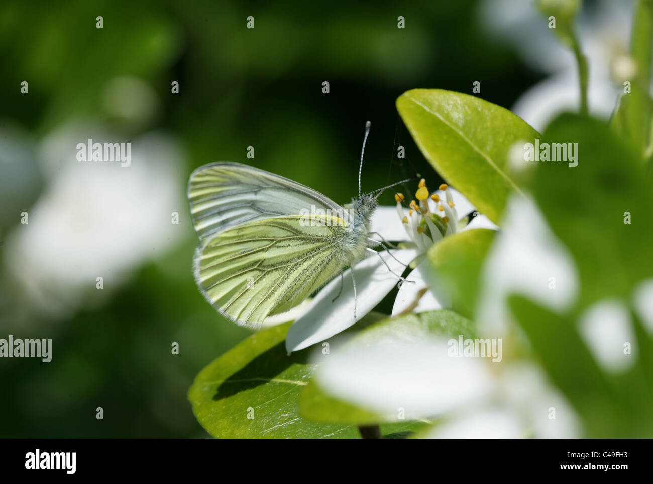 Green-veined White Butterfly Pieris napi Single adult feeding on a flower Dorset, UK - Stock Image