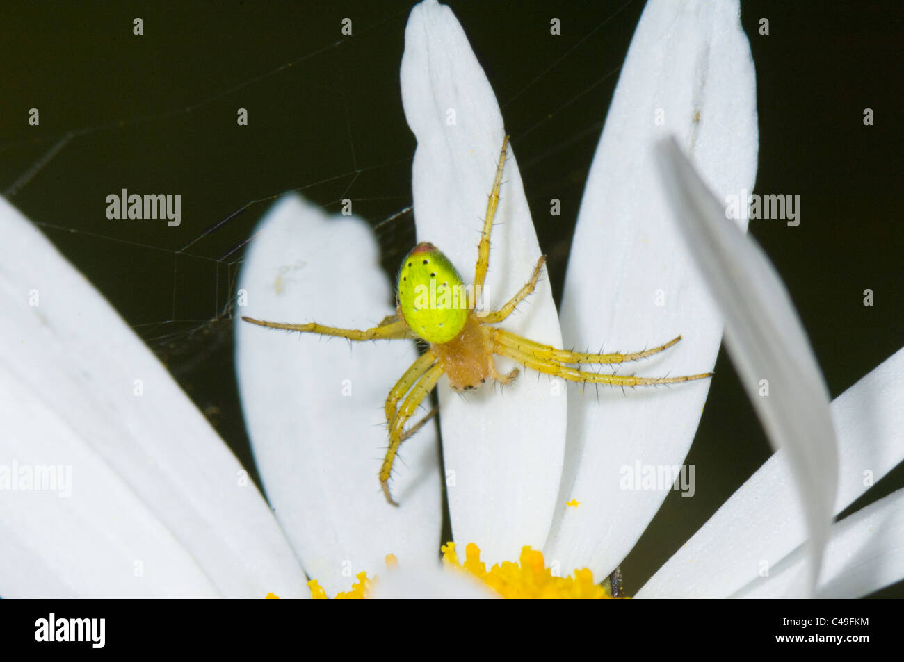 Green Orb Weaver Spider or Cucumber Spider (Araniella cucurbitina), France - Stock Image