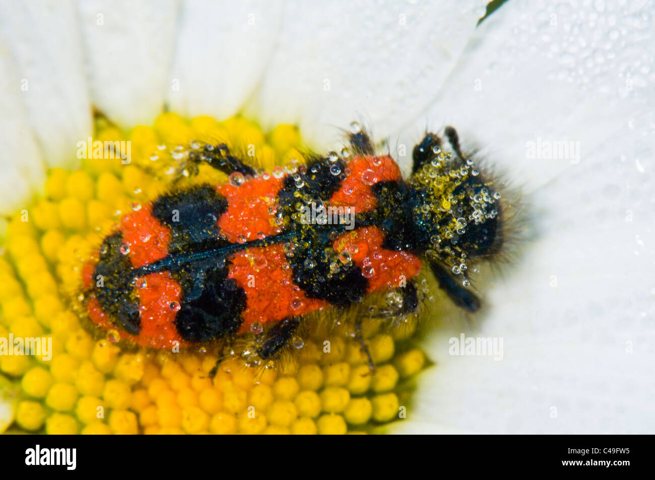 Chequered Bee Beetle (Trichodes apiarius), France - Stock Image