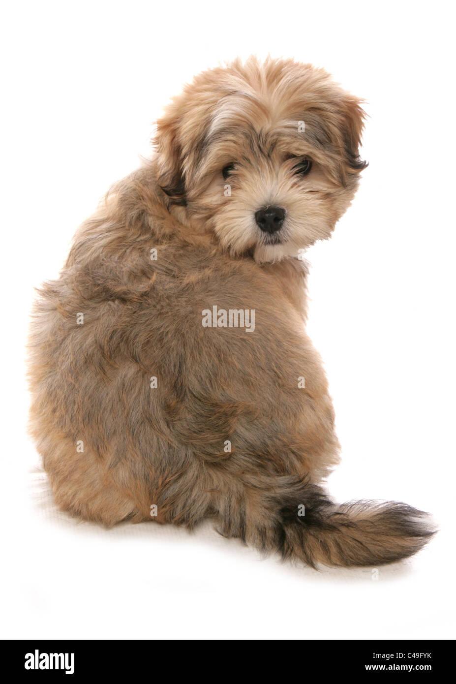 Malshi Maltese Cross Shih Tzu Hybrid Single Puppy Sitting In Studio
