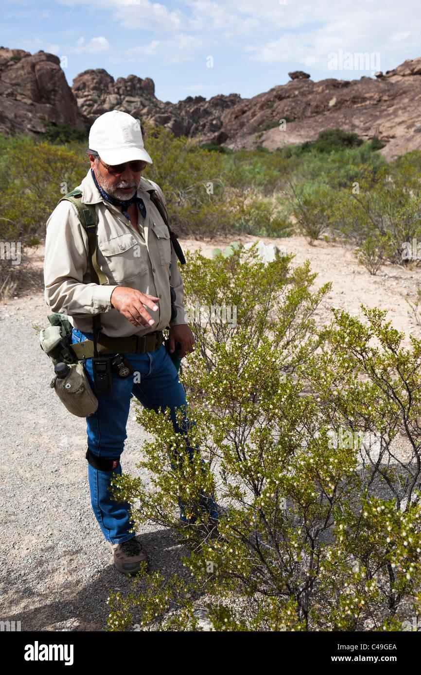 Guide explaining medicinal uses of the Creosote bush Larrea tridentata Hueco Tanks Texas USA - Stock Image