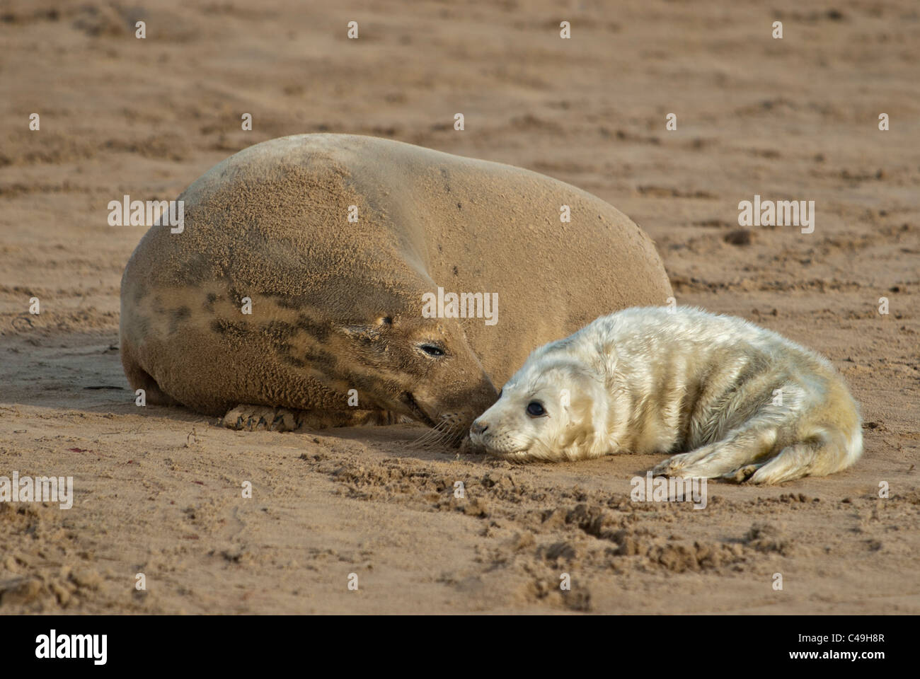 Atlantic grey seal pup and mother Halichoerus grypus on beach Donna Nook Nature Reserve Lincolnshire, Uk Stock Photo
