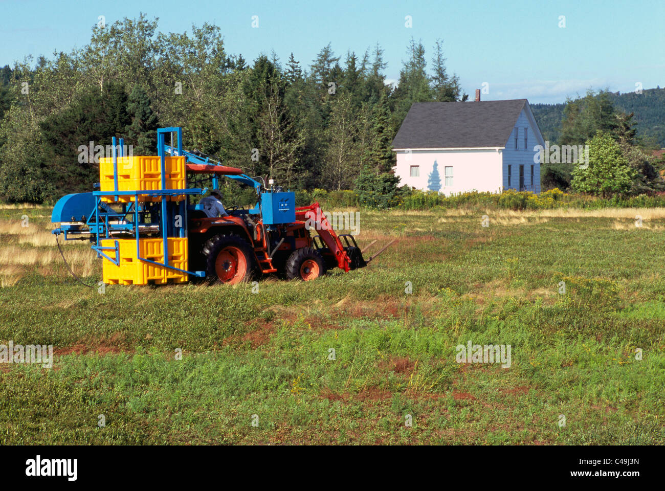 Blueberry Harvester Tractor harvesting Wild Blueberries from Bushes in a Field on Farm near Diligent River, Nova - Stock Image