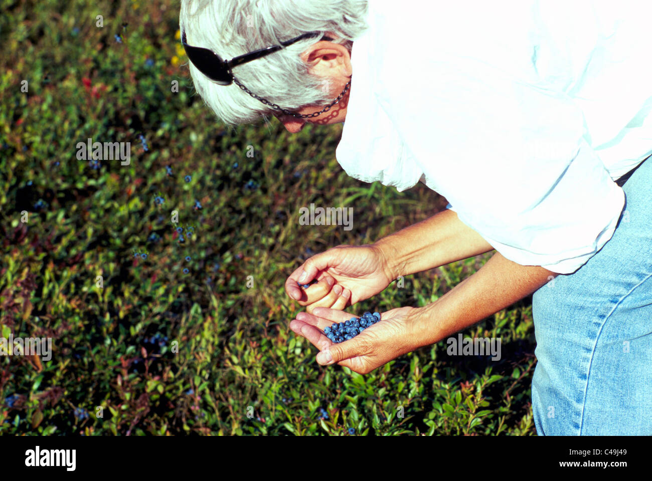 Middle-aged Woman picking Blueberries from Small Wild Blueberry Bush in Field near Diligent River, Nova Scotia, - Stock Image