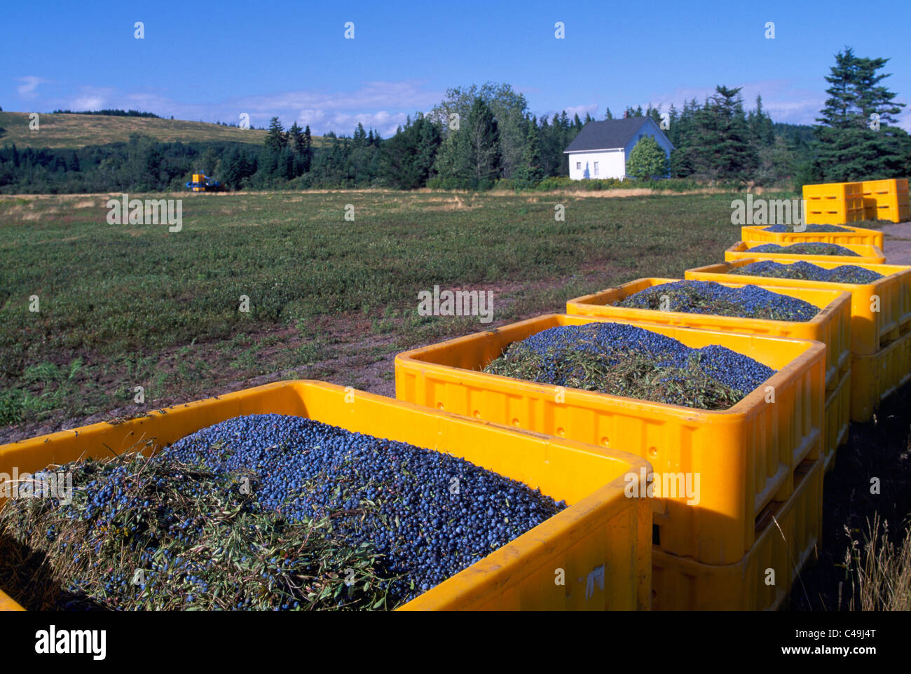 Blueberry Harvest - Wild Blueberries harvested from Field and stored in Crates on Farm near Diligent River, Nova - Stock Image