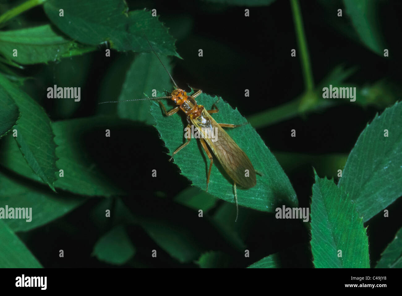 Golden Stonefly (Hesperoperla pacifica) at rest on plant leaf near mountain creek, Mt. Evans Wilderness area, Colorado - Stock Image