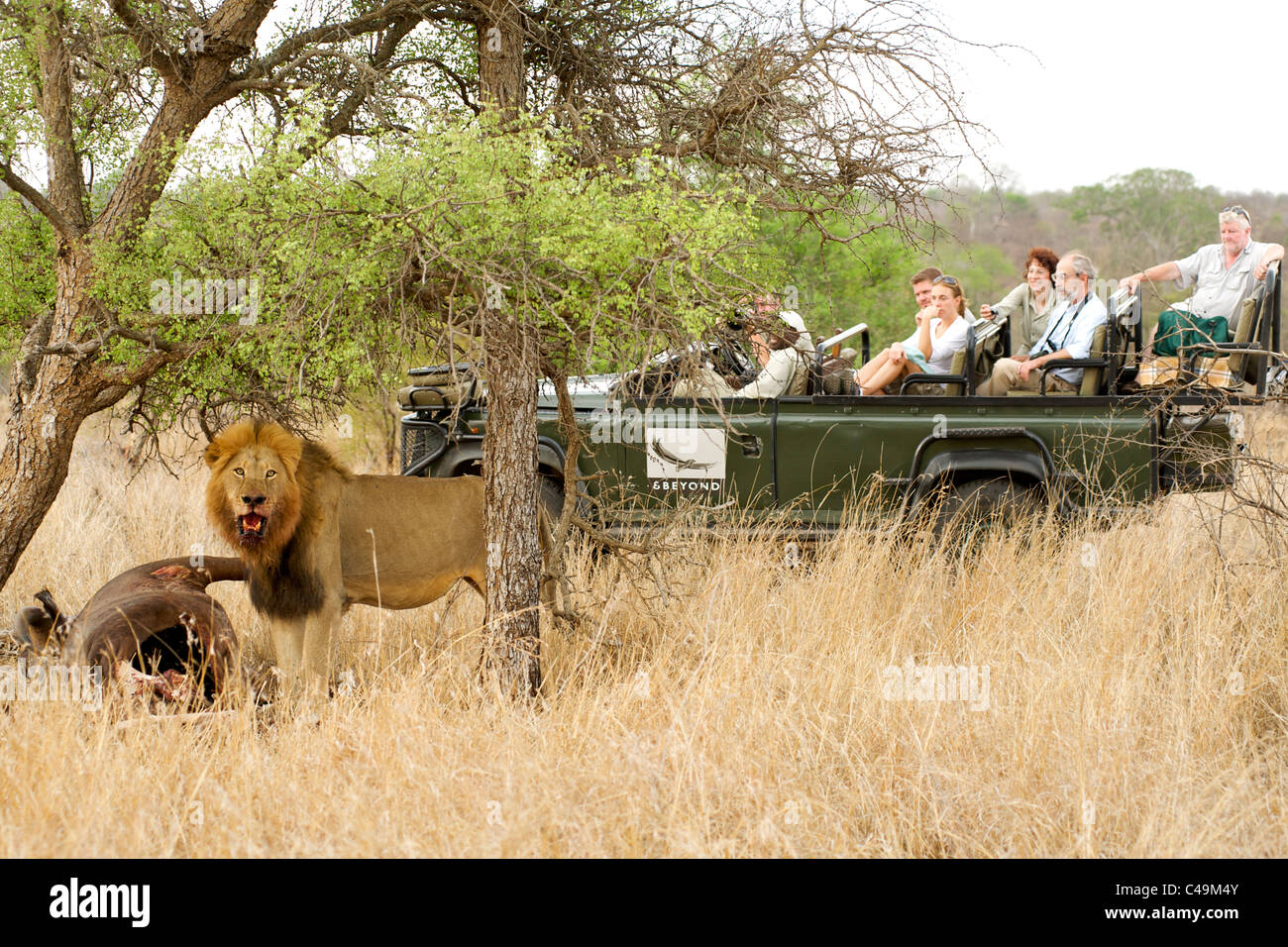 Lion with a buffalo carcass watched by tourists on a game drive at &Beyond Ngala lodge in the Kruger Park area - Stock Image