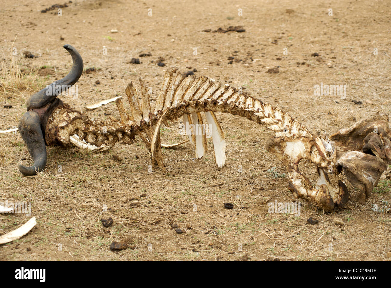 Buffalo carcass in the Kruger Park area of South Africa. - Stock Image