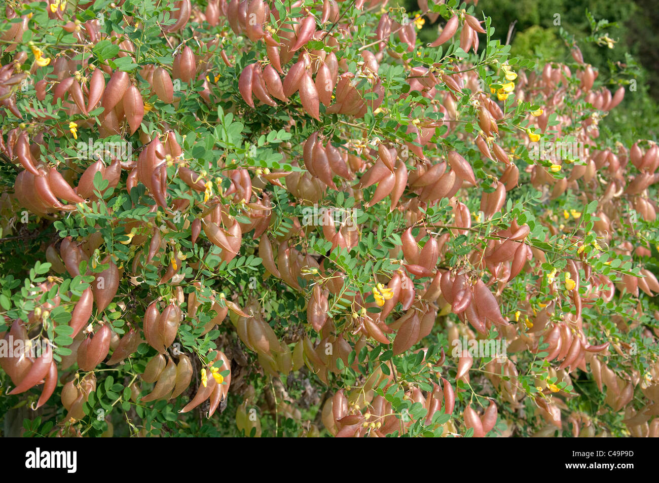 Bladder Senna (Colutea arborescens), bush with fruit. Studio picture against a white background. Stock Photo