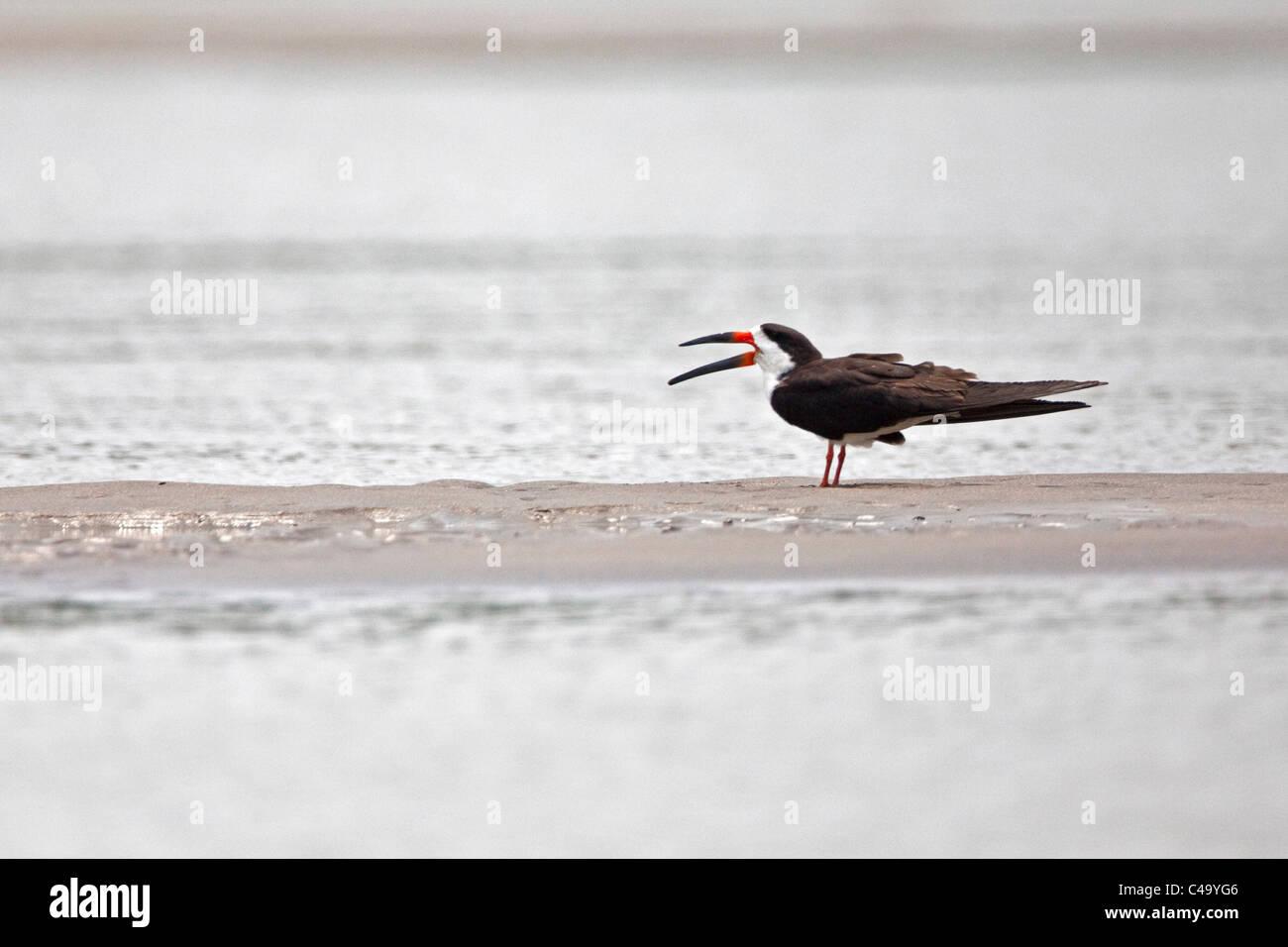 Manu National Park, Black Skimmer ( Rynchops niger ) in the Alto Madre de Dios River. - Stock Image