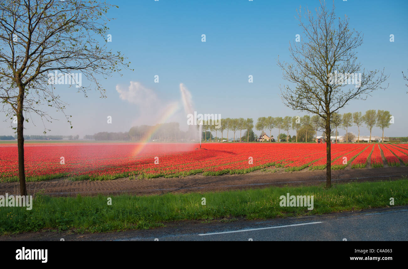 field of red tulips being irrigated by a sprinkler - Stock Image