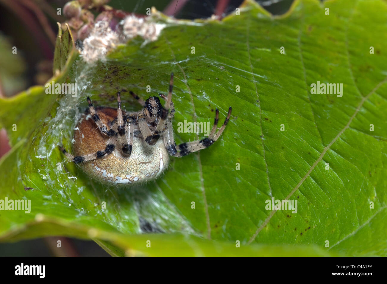 Four-spot Orb-weaver (Araneus quadratus) in a wine leaf pulled together to form a cone. - Stock Image