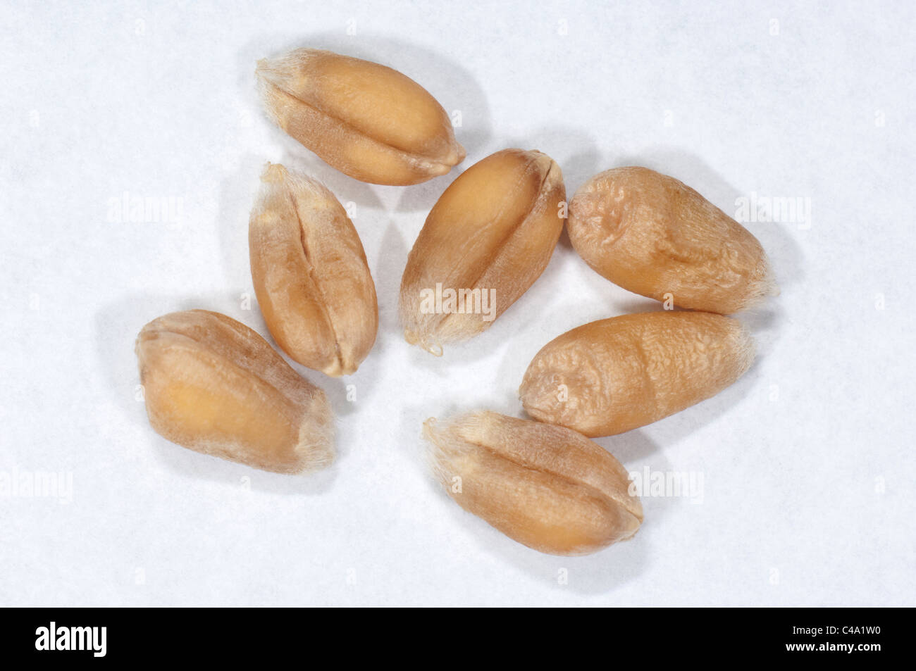 Common Wheat, Bread Wheat (Triticum aestivum), seeds. Studio picture against a white background. - Stock Image