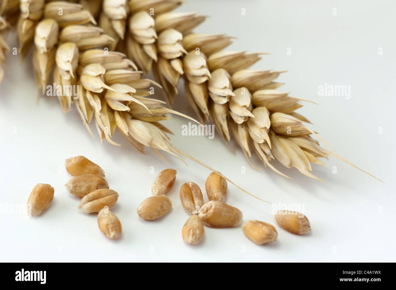 Common Wheat, Bread Wheat (Triticum aestivum). Ripe ears and seeds. Studio picture against a white background. - Stock Image