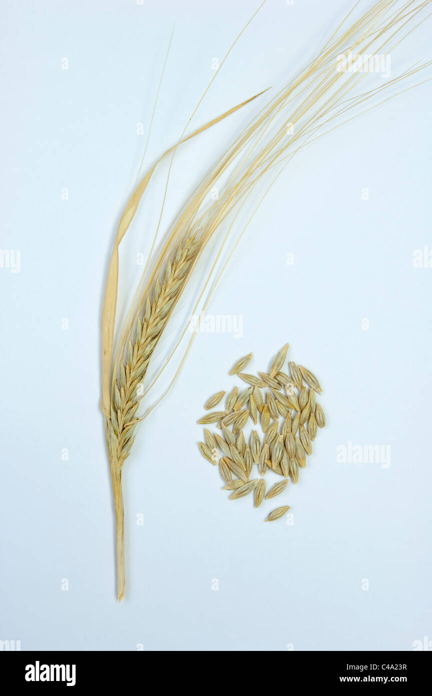 Wild Barley (Hordeum vulgare subsp. spontaneum), ripe ear and seeds. Studio picture against a white background. - Stock Image