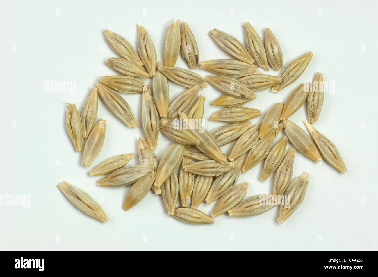 Wild Barley (Hordeum vulgare subsp. spontaneum), seeds. Studio picture against a white background. - Stock Image