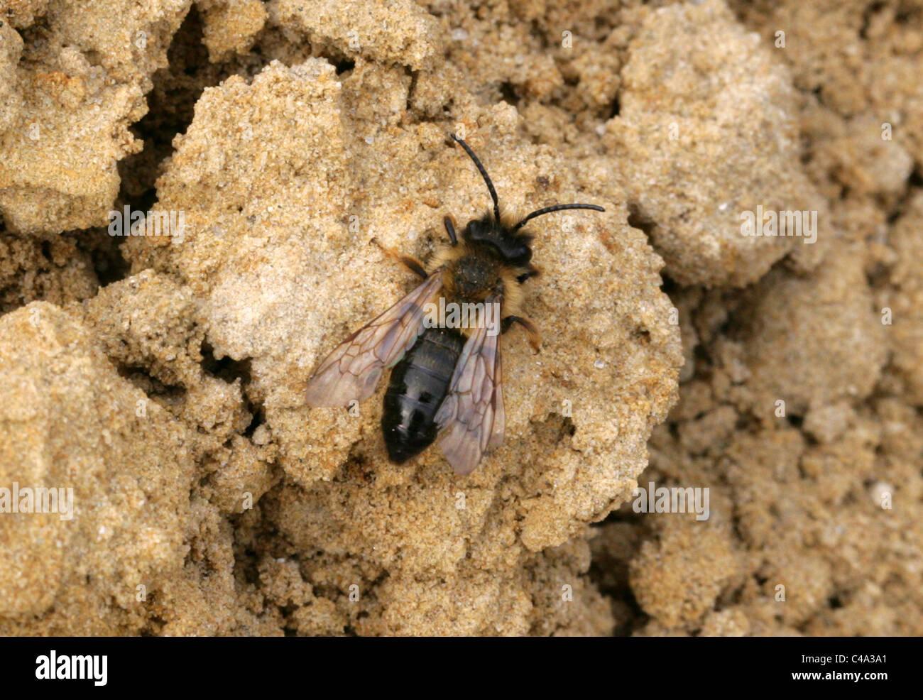 Communal Mining Bee, Andrena carantonica, Andreninae, Andrenidae, Apoidea, Apocrita, Hymenoptera. Aka Hawthorn Bee. - Stock Image