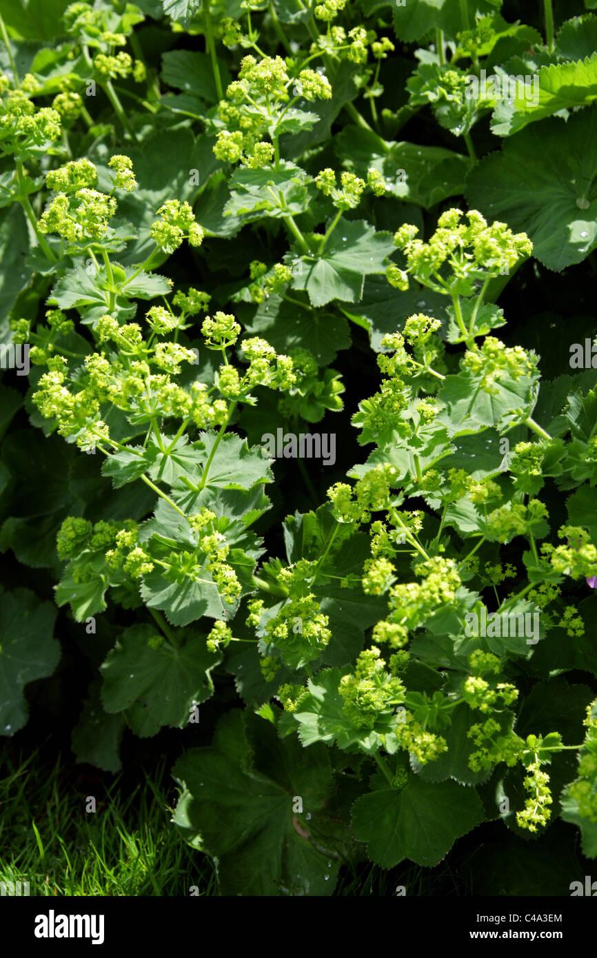 Lady's Mantle, Alchemilla mollis, Rosaceae. - Stock Image