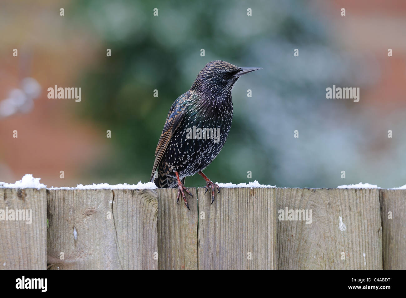 Common starling perching on a fence in winter Stock Photo