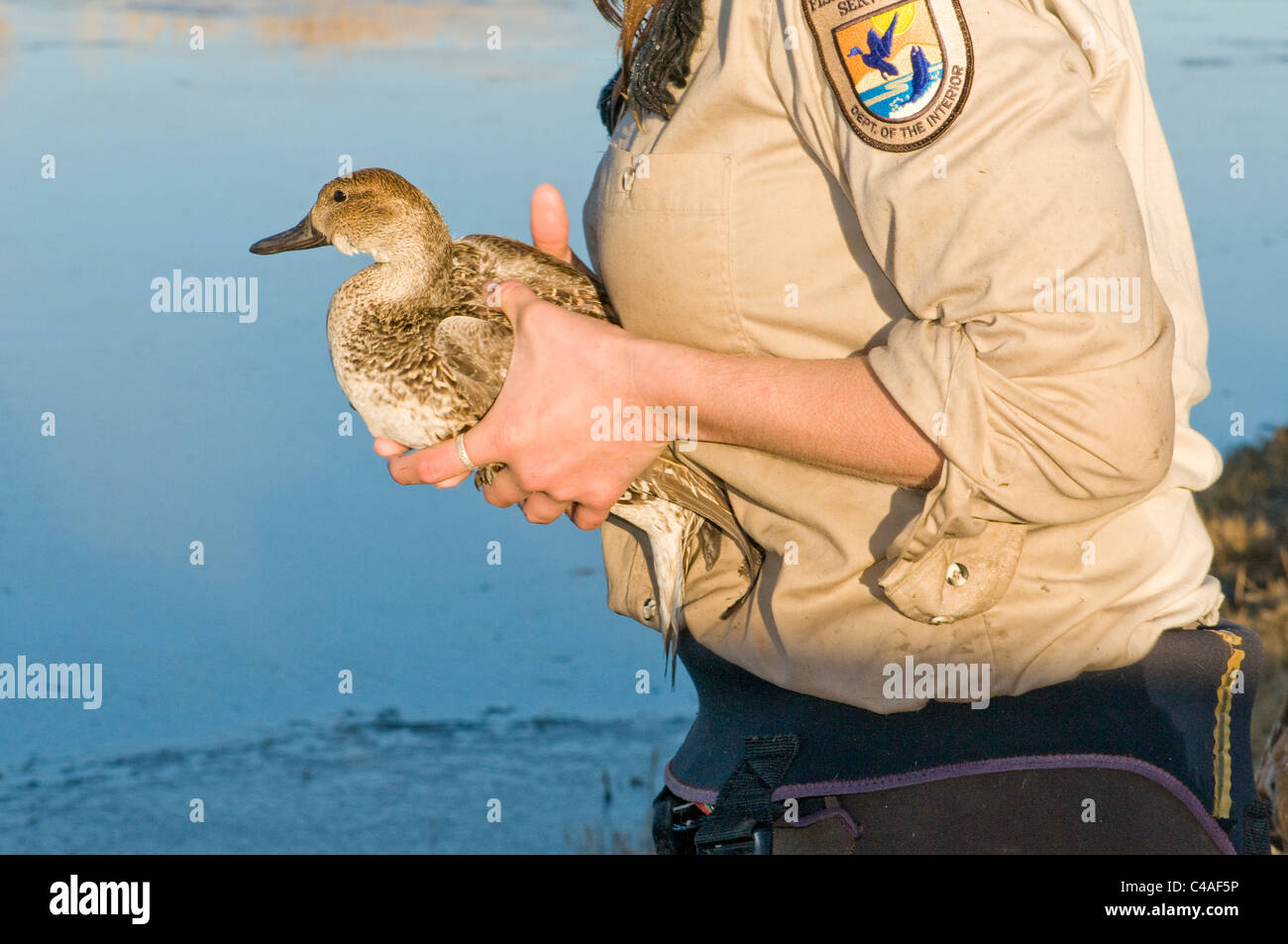 U.S. Fish and Wildlife Service biologist releasing a newly-banded female pintail at Bosque del Apache Nat. Wildlife - Stock Image
