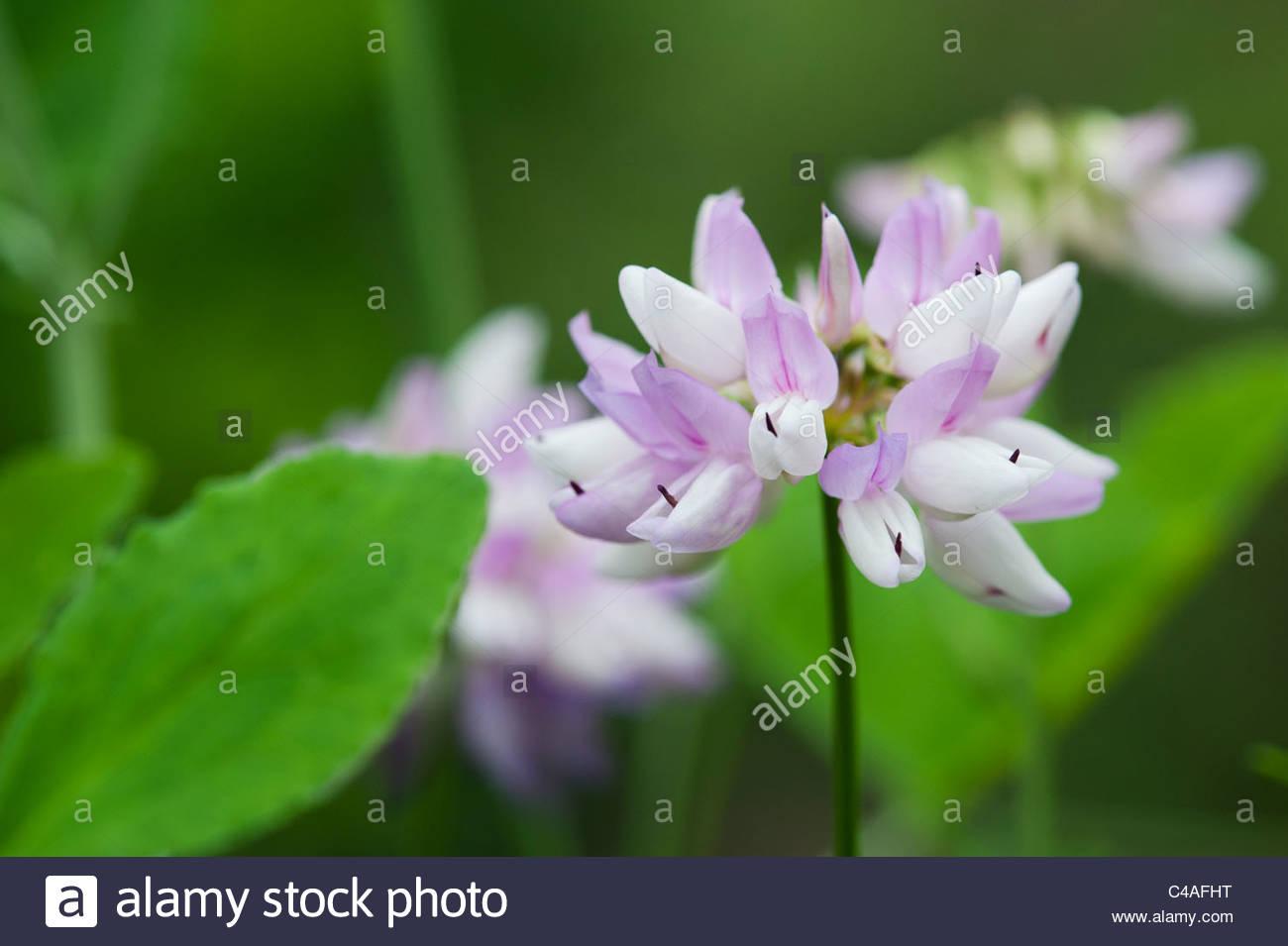 Crown vetch stock photos crown vetch stock images alamy coronilla varia purple crown vetch flower stock image izmirmasajfo