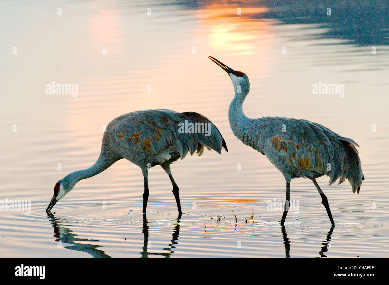 Greater sandhill cranes in roost pond - Stock Image