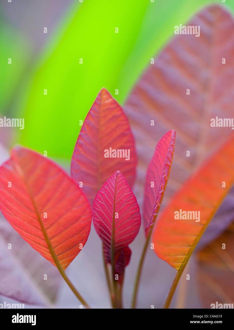 Cotinus grace leaves. Smoke bush leaves - Stock Image