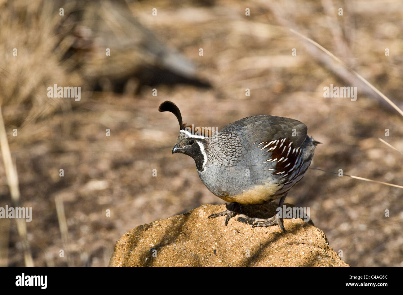 Male Gambel's quail (Callipepla gambelii) - Stock Image