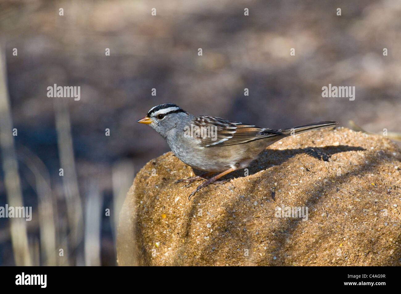 Male white-crowned sparrow (Zonotrichia leucophrys) - Stock Image