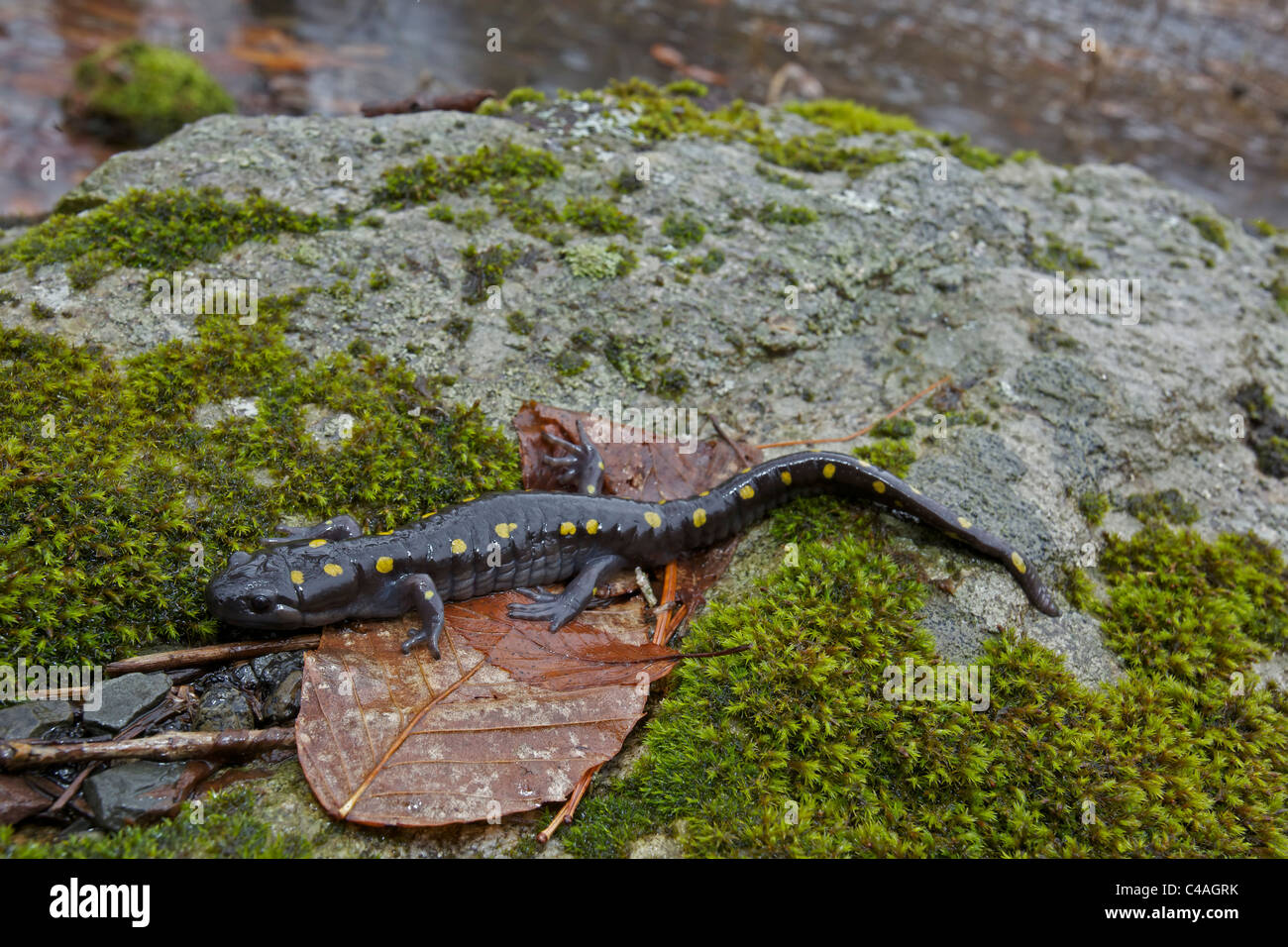 Spotted Salamander (Ambystoma maculatum) - New York - USA - at breeding pond in spring - Common in the eastern United - Stock Image