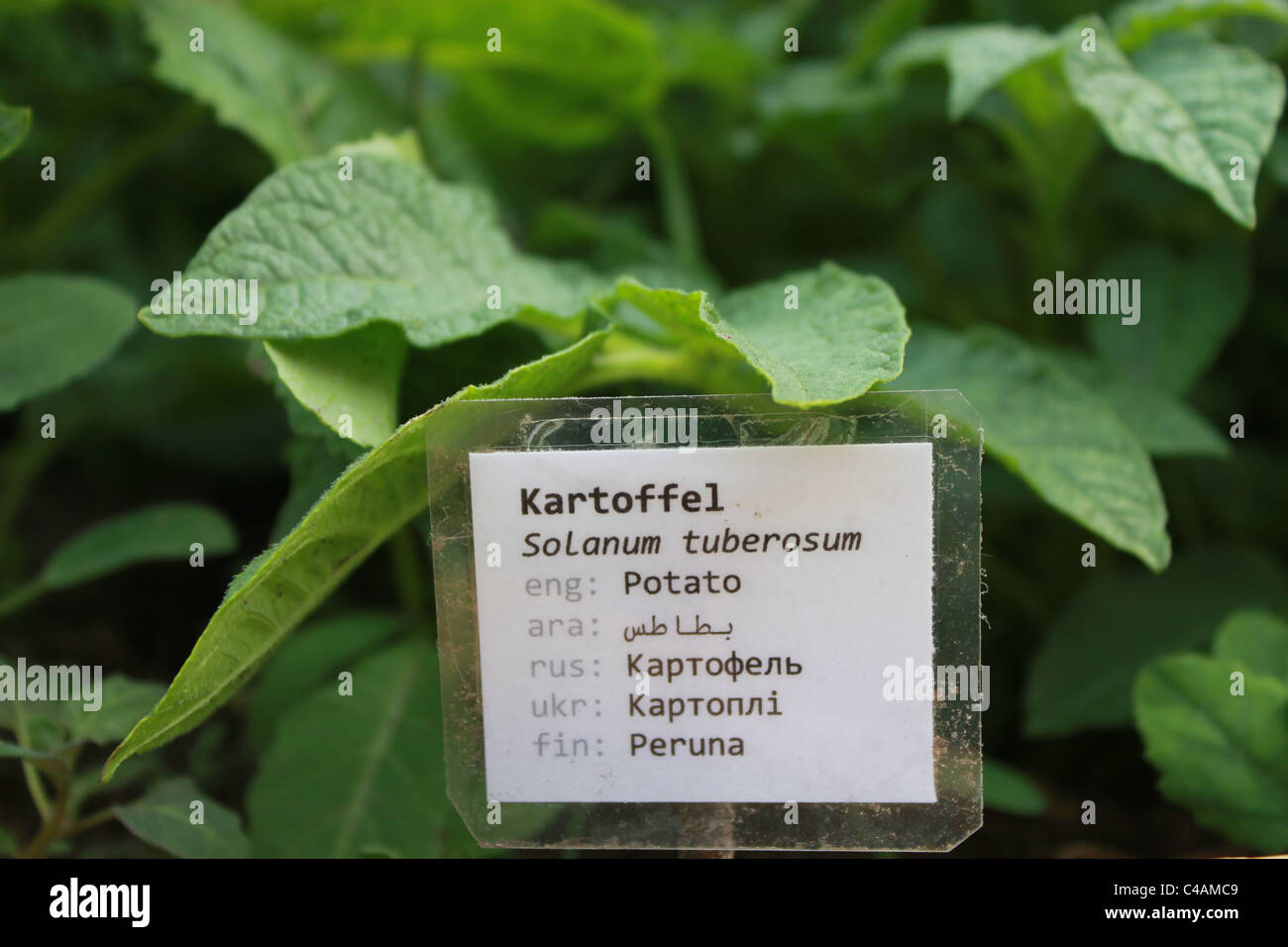 The word potato written in 7 different language when multicultural woman´s project has their vegetable garden - Stock Image